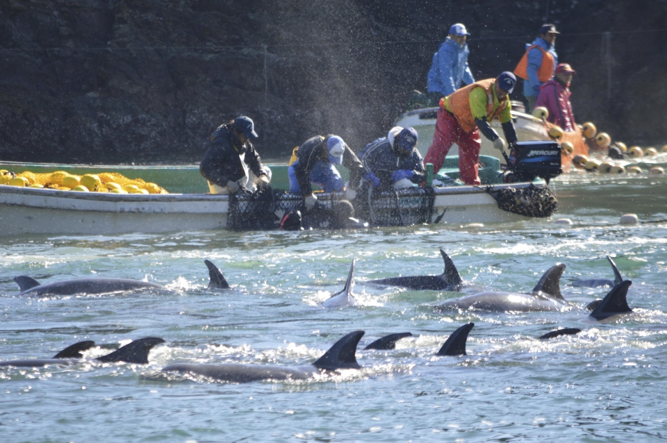 Fishermen catch bottlenose dolphins during the selection process in Taiji, western Japan on Sunday, Jan. 19, 2014. (AP/ Sea Shepherd Conservation Society)