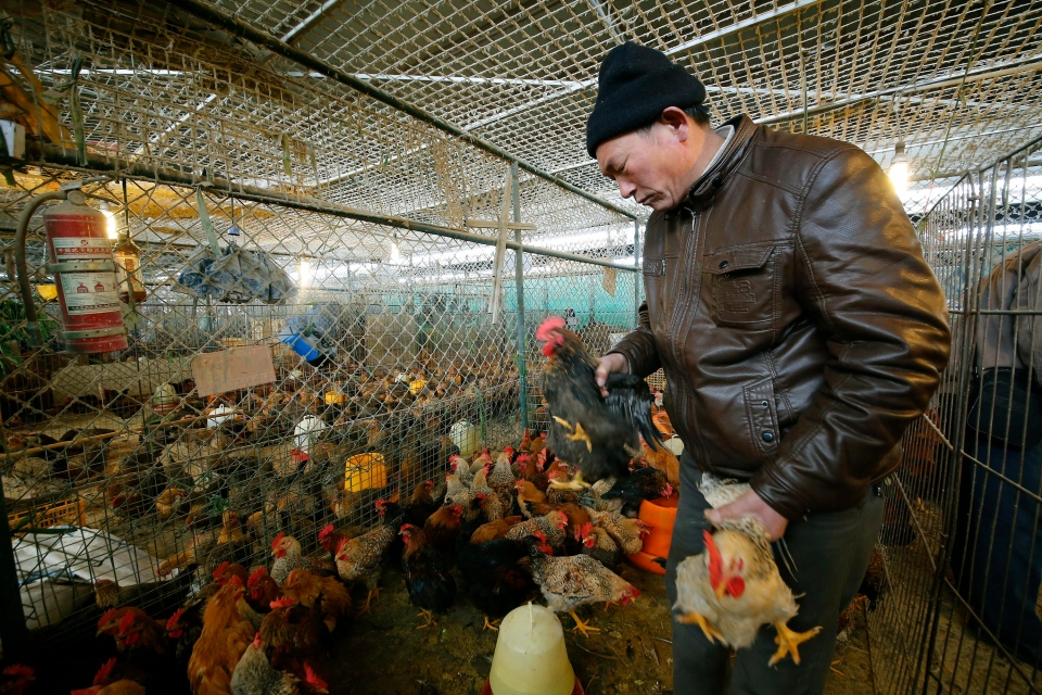 A vendor picks chickens at a wholesale poultry market in Shanghai on Tuesday, Jan. 21, 2014. (AP Photo)