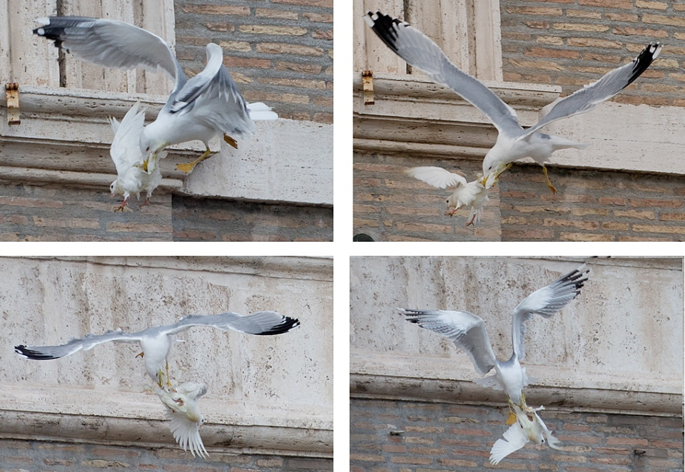 A dove, which was freed by children flanked by Pope Francis during the Angelus prayer, is attacked by a seagull in St. Peter's Square on Jan. 26, 2014. (AP Photo/Gregorio Borgia)
