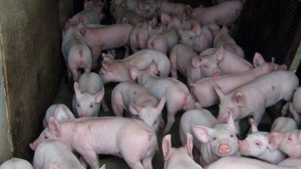 Pigs are pictured at a pig barn at an Ontario farm in a handout photo. (THE CANADIAN PRESS)