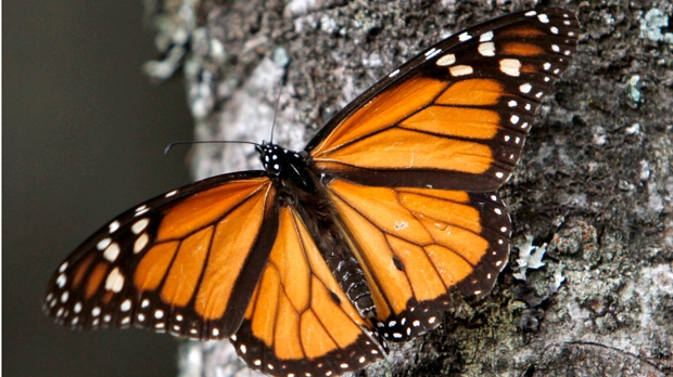 monarch butterflies, mexico, world wildlife fund