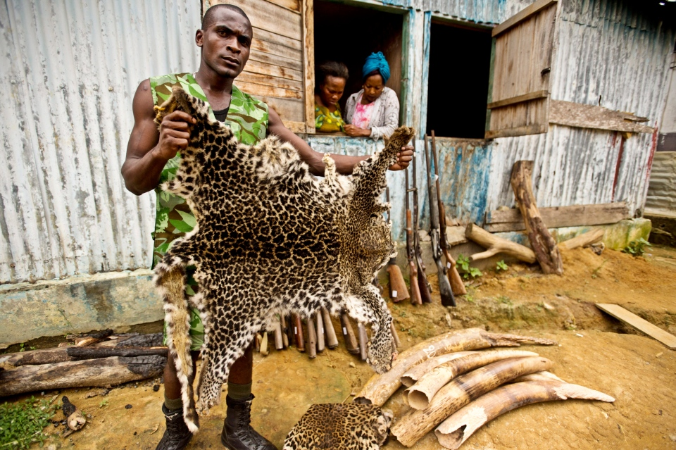 Mba Ndong Marius, a Parcs Gabon Eco Guard, holds up a poached leopard skin in front of a collection of seized elephant tusk ivory and weapons on Monday, June 25, 2012, in Gabon. (WWF-Canon/James Morgan via AP Images)