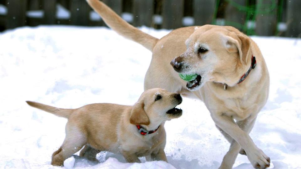 Labrador retrievers most popular U.S. dog