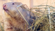 Groundhog Wiarton Willie
