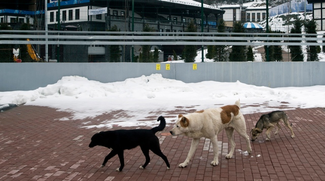 Stray dogs sit outside the Rosa Khutor Extreme Park course, a venue for the snowboarding and freestyle competitions of the 2014 Winter Olympics, in Sochi, Russia, Monday, Feb. 3, 2014. (AP Photo/Pavel Golovkin)