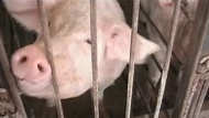 In 2006, Manitoba NDP government introduced a moratorium on any new hog barns.