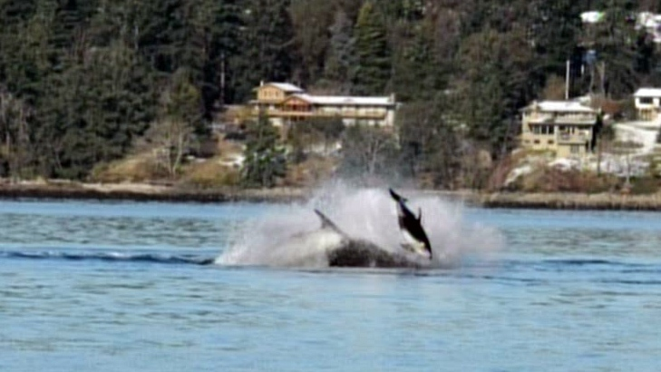 A rare confrontation between a group of killer whales and a school of dolphins in Nanaimo, B.C., was captured on video on Monday, Feb. 3, 2013.