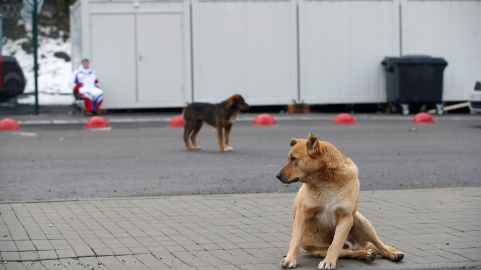 Stray dogs sit outside the Rosa Khutor Extreme Park course, a venue for the snowboarding and freestyle competitions of the 2014 Winter Olympics, in Sochi, Russia, Monday, Feb. 3 2014. (AP  / Pavel Golovkin)