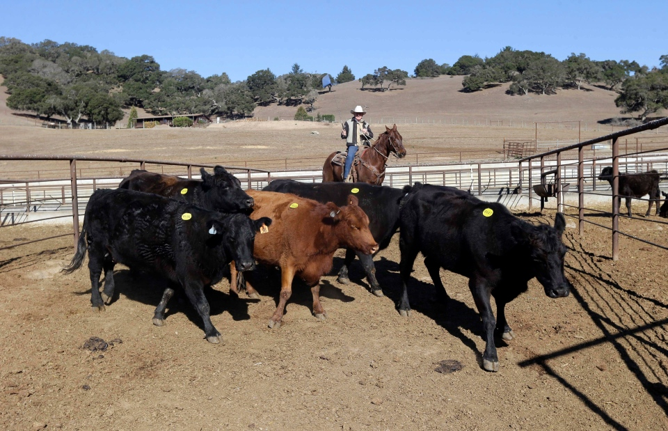 Jim Warren, top, owner of the 101 Livestock Market gathers cattle for an auction in Aromas, Calif.on Jan. 14, 2014. (AP / Marcio Jose Sanchez)
