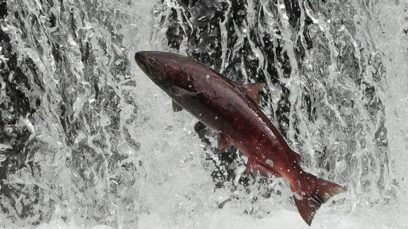 A Chinook salmon is shonw: (AP/Bill Roth)
