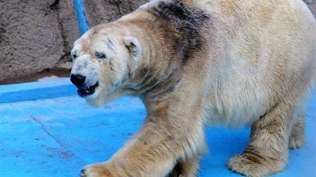 Access denied for Arturo the polar bear