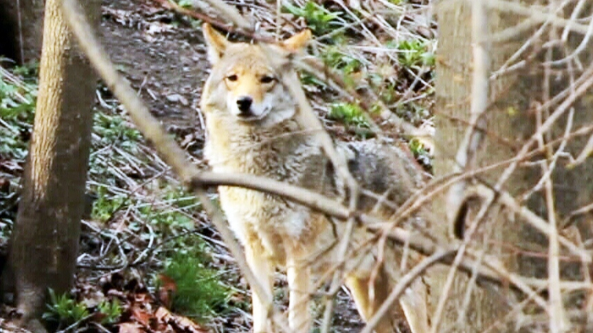 Coyotes on the prowl in Toronto