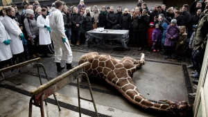 Marius, a male giraffe, lies dead before being dissected, after he was put down at Copenhagen Zoo on Sunday, Feb. 9, 2014. (POLFOTO, Peter Hove Olesen)