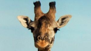 CTV National News: Giraffe euthanized at zoo