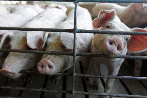 Pig virus reaches Quebec