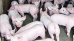 File - Pigs are pictured at a pig barn at an Ontario farm in a handout photo. (THE CANADIAN PRESS)