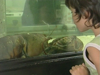 Dee-Dee the giant lobster awaits her fate in a tank.