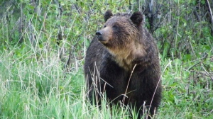 A female grizzly bear is shown in a handout photo. According to Alberta Fish and Wildlife, a quad rider and another rider on a motocross bike were attacked by a mother grizzly bear northwest of Cochrane on Saturday, August 29, 2015. (Parks Canada, Steve Michel/THE CANADIAN PRESS)