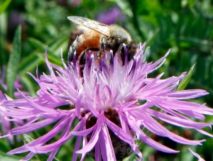 A bumblebee alights on the bloom of a thistle in Berlin, Vt. on July 5, 2011. (AP / Toby Talbot)