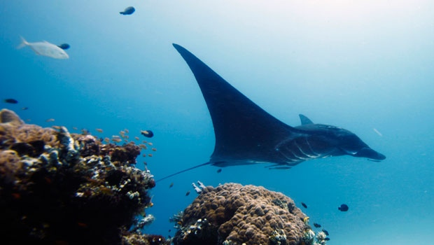 A manta ray in Indonesia
