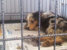 The 527 puppies seized from a West Quebec kennel are now in the care of the Humane Society, Sept. 21, 2011.