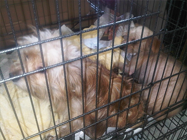 "These puppies were seized from the ""Paws are Us"" kennel along with more than 500 others, Sept. 21, 2011."