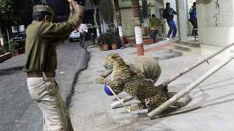 In this Sunday, Feb. 23, 2014 photo taken with a cellphone camera, an Indian policeman tries to charge a leopard with a stick that was spotted at a hospital in Meerut, India. (AP Photo)