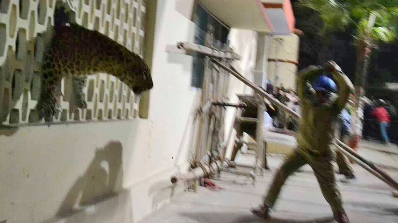 In this Sunday, Feb. 23, 2014 photo taken with a cellphone camera, an Indian policeman tries to charge a leopard with a stick that was spotted at a hospital in Meerut, India.(AP Photo)