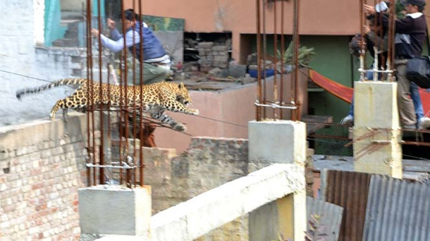 Leopard in Meerut, India (Source: Hindustan Times)