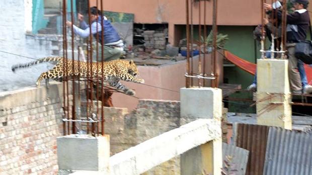 Leopard in Meerut, India (Source: Hindustan Times)