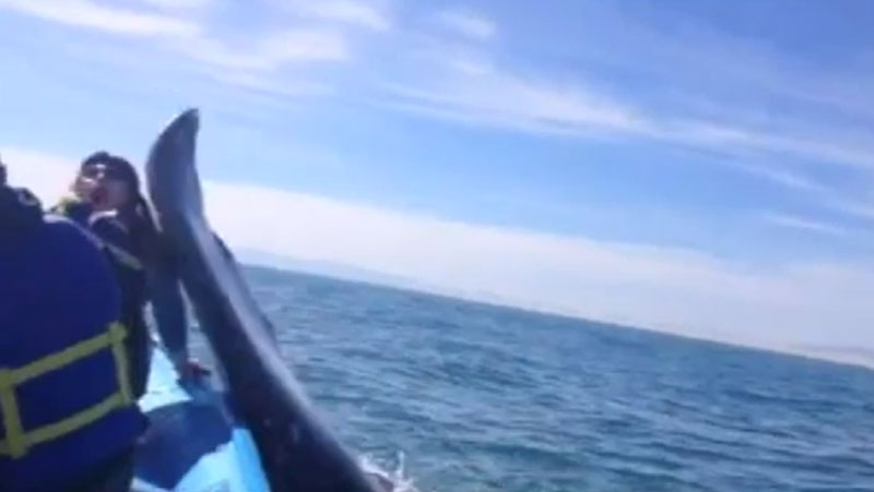 Chelsea Crawford was whale watching in Mexico on Saturday when a giant gray whale came up alongside her boat and slapped her in the face. (Taylor Roy)
