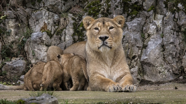 Shiva and her three cubs in Besancon zoo