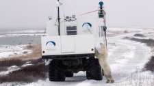 Polar bear investigates a Google Maps vehicle