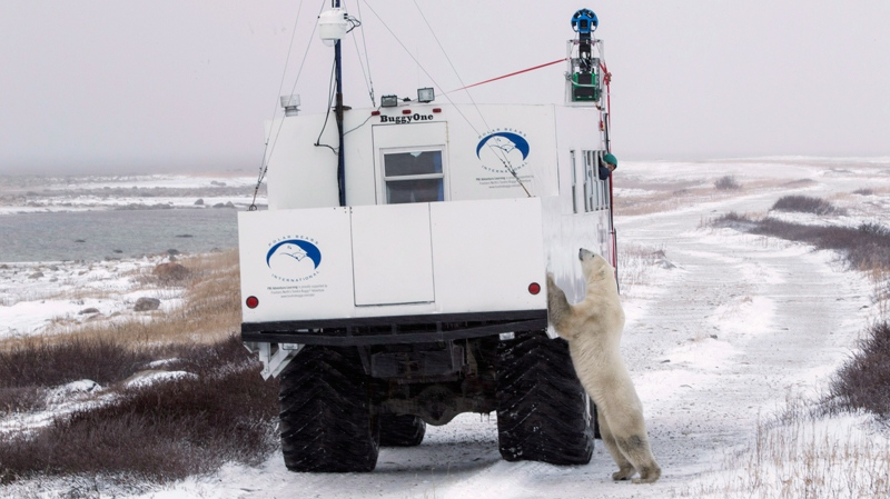 A polar bear investigates a vehicle recording imagery for Google Maps in Churchill, Man. (THE CANADIAN PRESS/HO, Google)