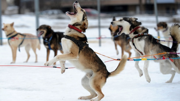 Iditarod sled dog race across Alaska
