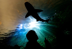 A person watches a shark swim above during the grand opening of the Ripley's Aquarium of Canada in Toronto on Wednesday, Oct. 16, 2013. (Nathan Denette / THE CANADIAN PRESS)
