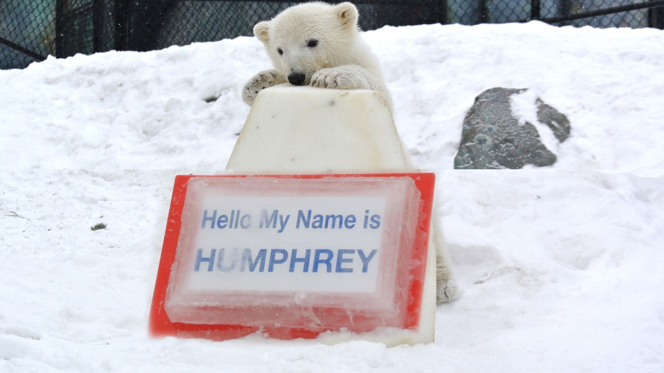 Meet Humphrey, the Toronto Zoo's newly-named polar bear cub. (Toronto Zoo)