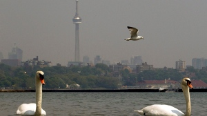 Swans keep cool in Lake Ontario as smog and high heat descend on Toronto on Wednesday June 8, 2011. (Frank Gunn / THE CANADIAN PRESS)