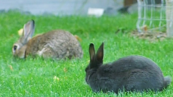 Rabbits are seen in Canmore, Alberta, where residents are struggling with the booming bunny population.