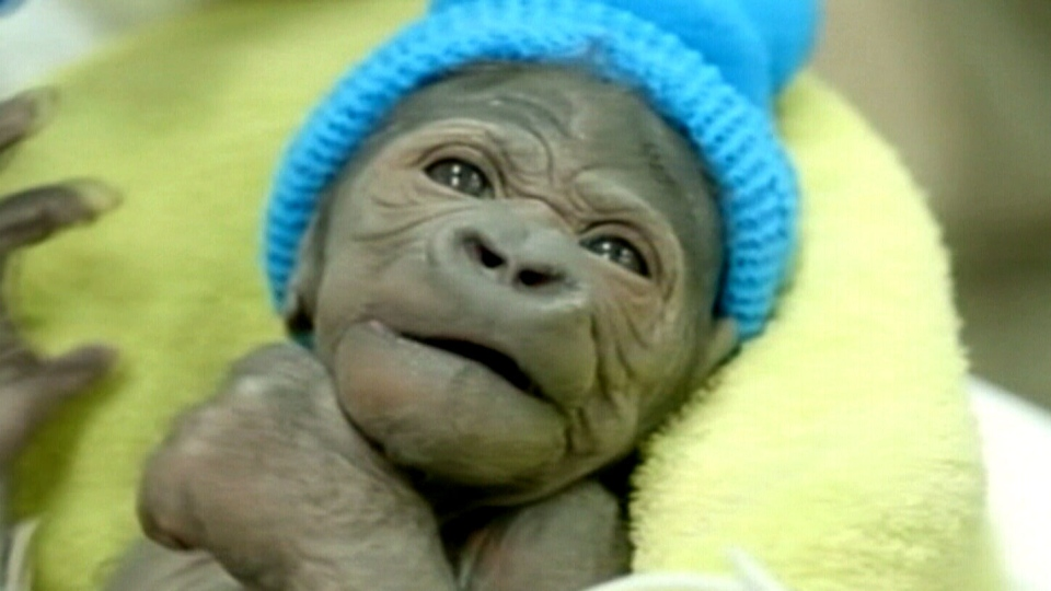 Veterinarians at the San Diego Zoo performed an operation on a newborn gorilla that was delivered by C-section.
