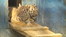 The tiger cubs made their first public appearance in Winnipeg on Oct. 3, 2011.