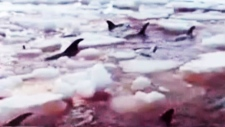 Dolphins die after they get trapped in ice off  Re