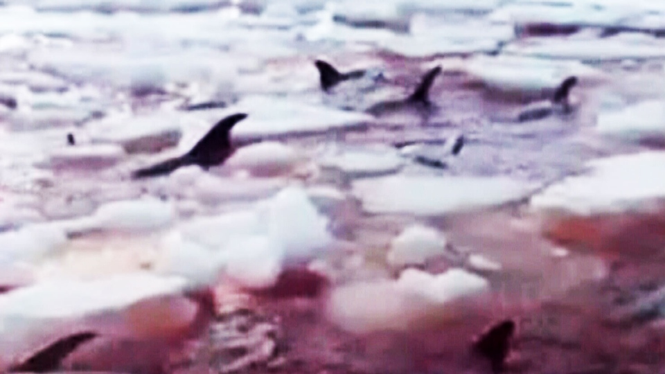 All but three of about 30 white-beaked dolphins that became trapped in ice off southwestern Newfoundland have died, federal fisheries officials said Monday.