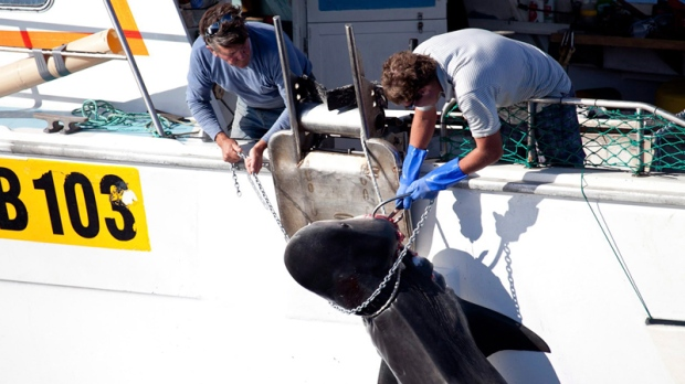 2014 shark cull off western Australia