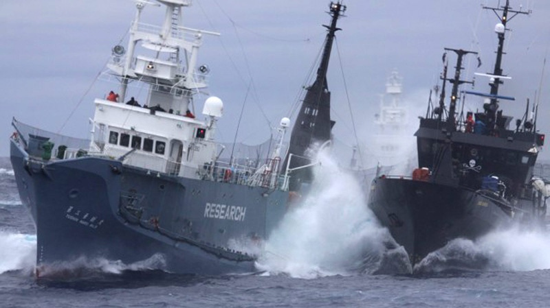 FILE - Anti-whaling group Sea Shepherd's ship the Bob Barker, right, and the Japanese whaling ship No. 3 Yushin Maru collide in the waters of Antarctica, Feb. 6, 2010. (AP / Institute of Cetacean Research)