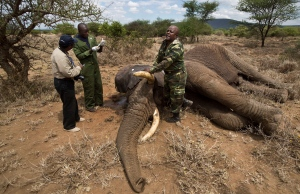 In this Tuesday, Dec. 3, 2013 file photo, a member of the veterinary team from the Kenya Wildlife Service (KWS) shouts to others to clear the area as they prepare to revive a tranquilized wild elephant during an elephant-collaring operation near Kajiado, in southern Kenya. (AP / Ben Curtis)