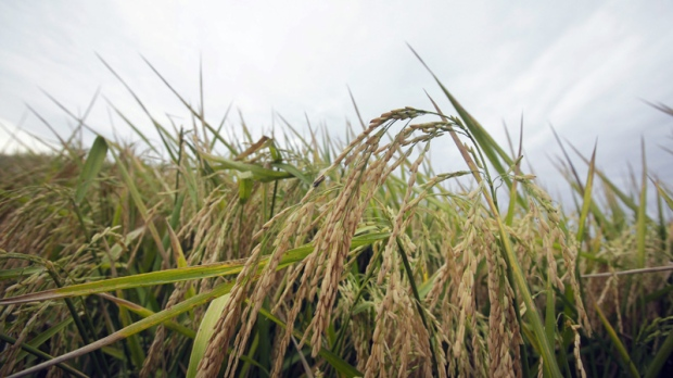 Rice grows in a field near Alicia, Ark., on Sept. 22, 2011.