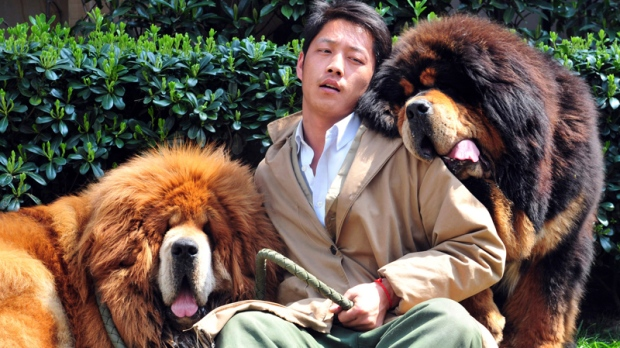 The Tibetan mastiffs in Tongxiang city