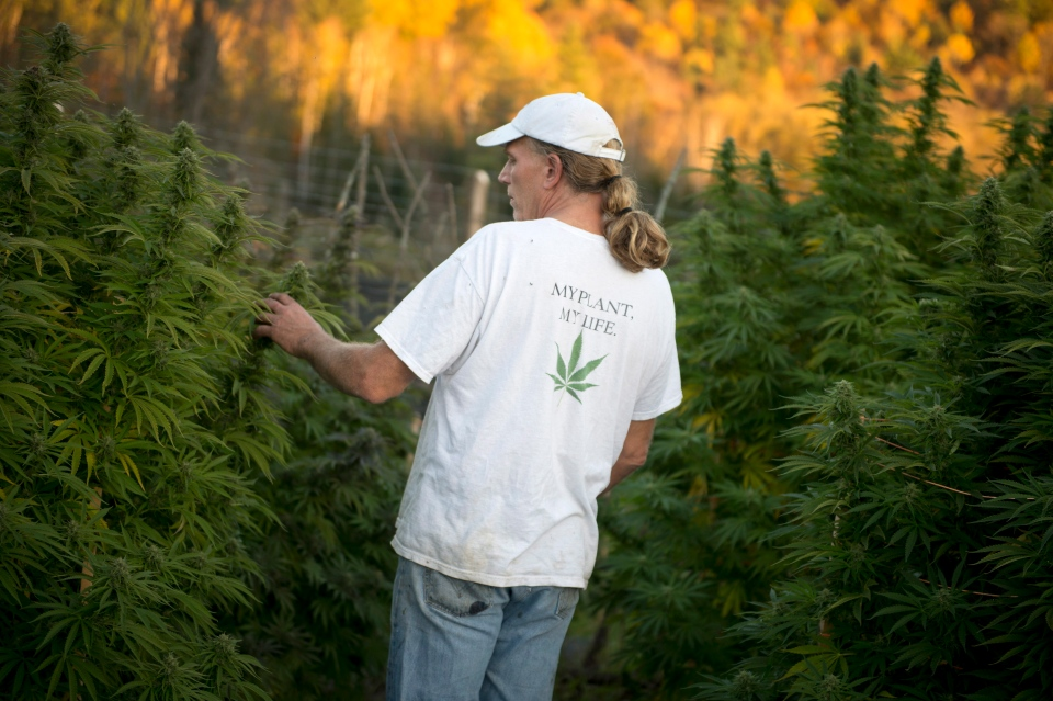 Sandy Daviau tends to a cannabis plant at his outdoor garden, nicknamed the Farmacy, in south-west Quebec on Tuesday, Oct. 8, 2013. (Justin Tang / THE CANADIAN PRESS)