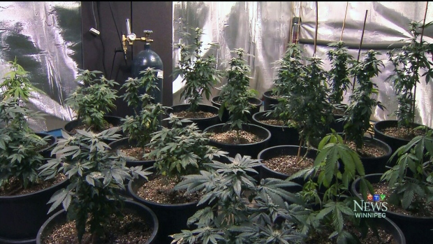 CTV Winnipeg: Medical marijuana users